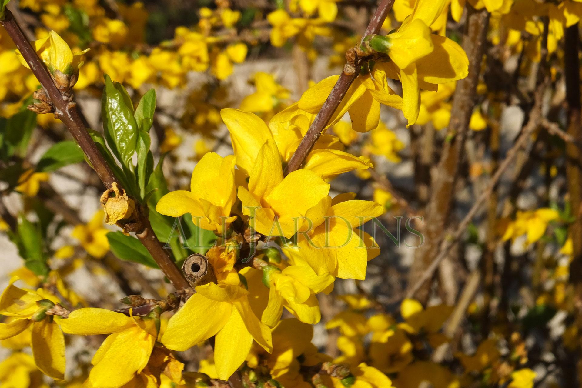 forsythia-fleurWs